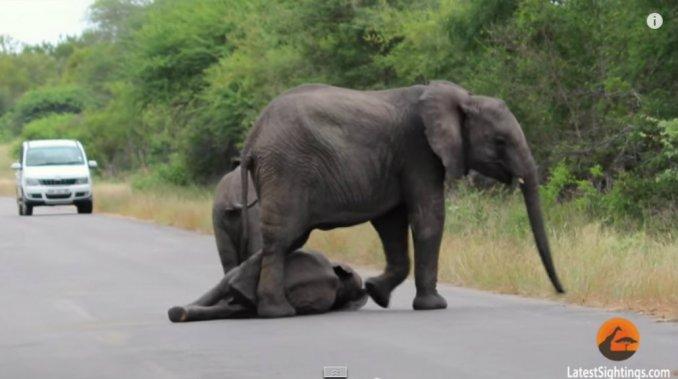 manada-elefantes-rescata-cria