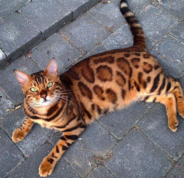 Cuando un cliente entra en la casa, Tor no se ejecuta lejos como los otros gatos, y comprobar que entró y lo huele